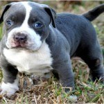 pit bull puppy for sale