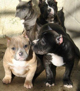 Blue Bully Pitbulls