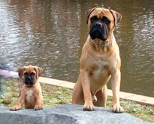 bullmastiff guard dog