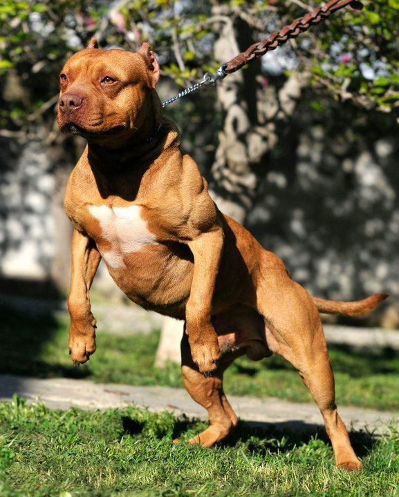 american pit bull terrier apbt histrory temperament and behavior