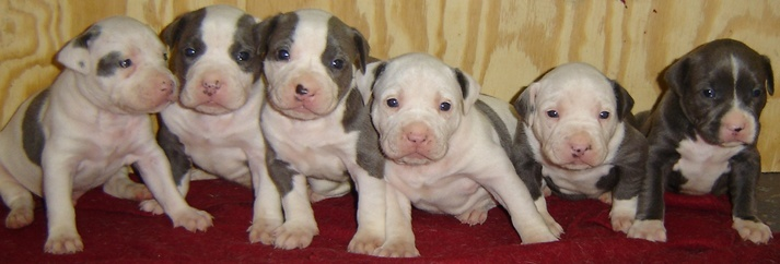 How To Train A Pit Bull Puppy To Be Non Aggressive