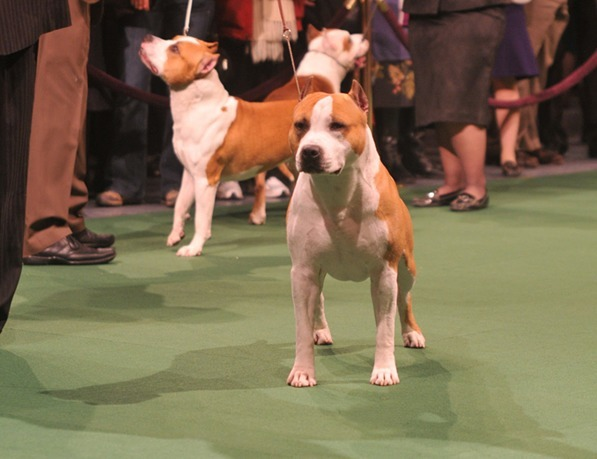 staffordshire_terrier_stud