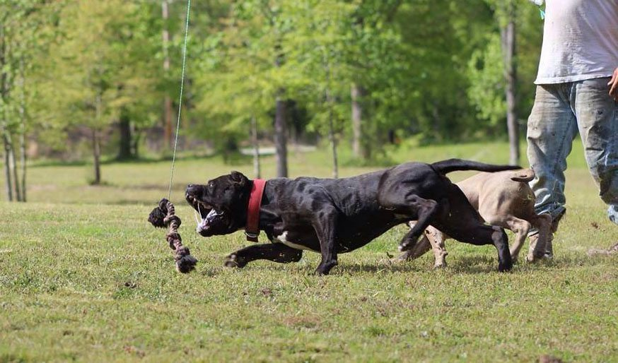Muscle Building Exercises For Pitbulls